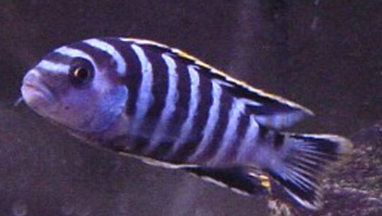 Cichlids: What Type Of Fishes Are These?